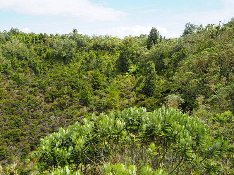 Rangitoto vegetation